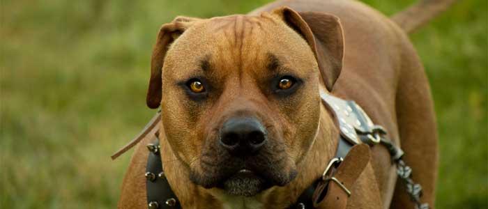 pitbull dog price